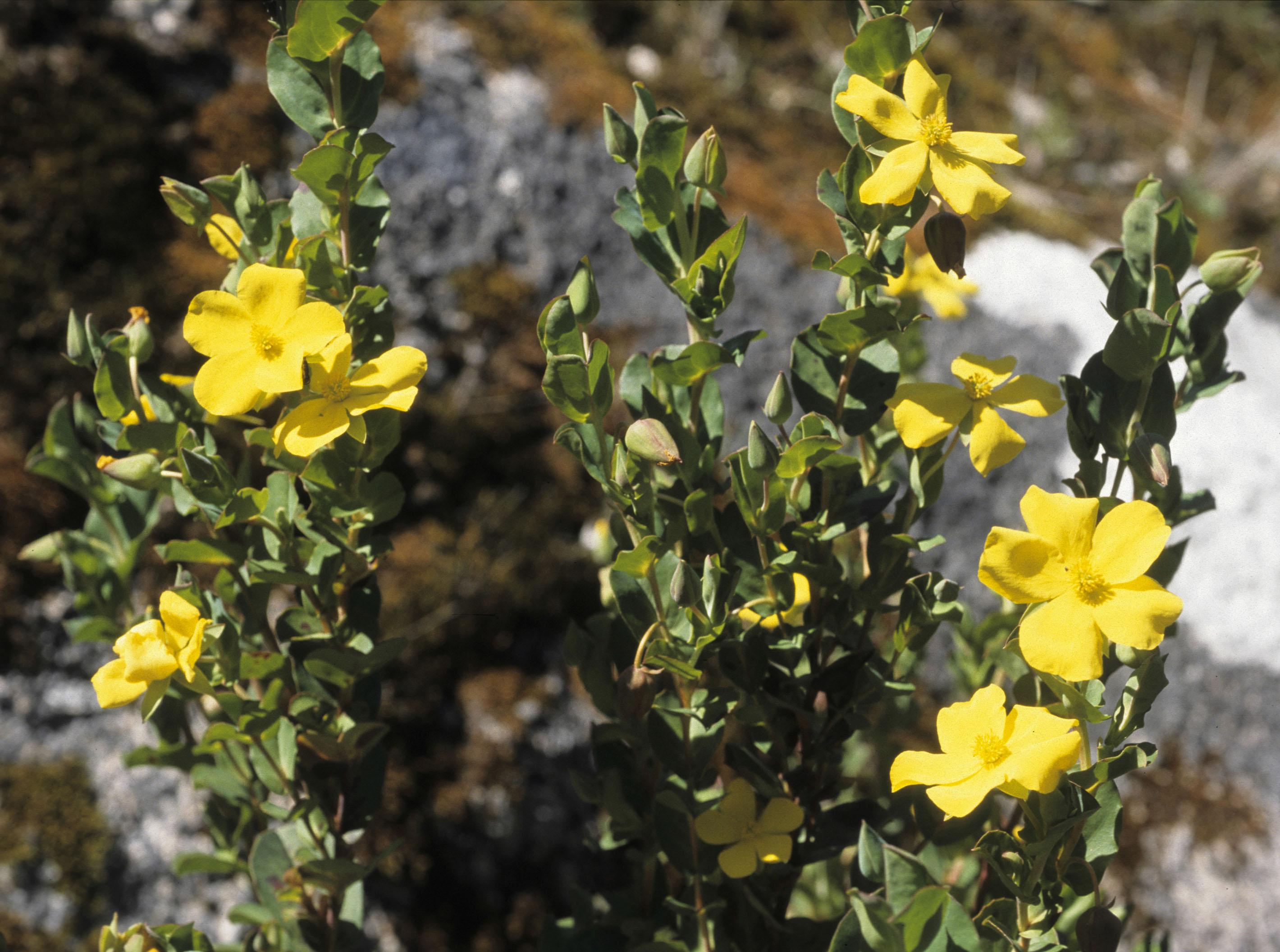 Hibbertia bracteosa