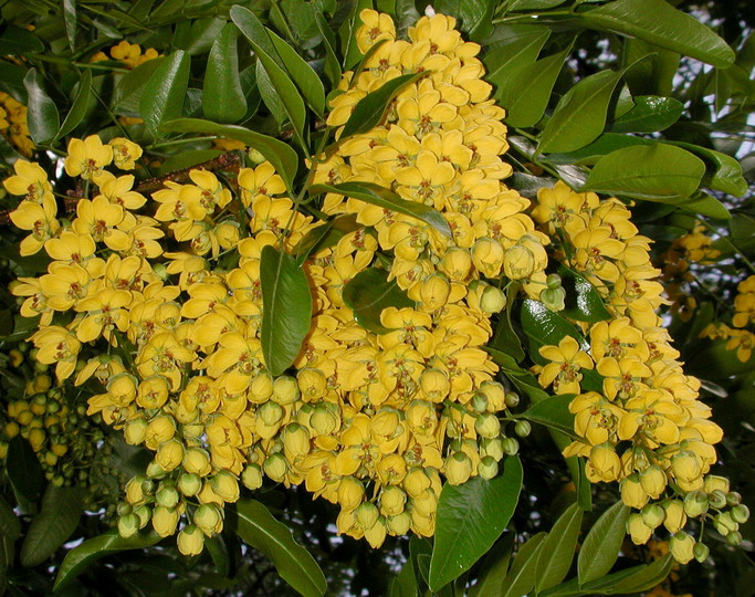 Cassia brewsteri marksiana