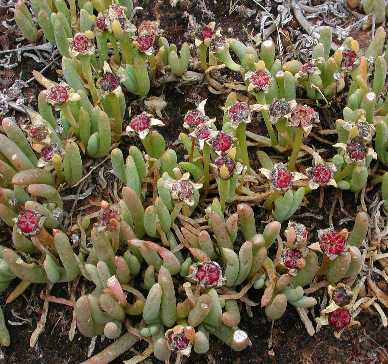 Disphyma crassifolium