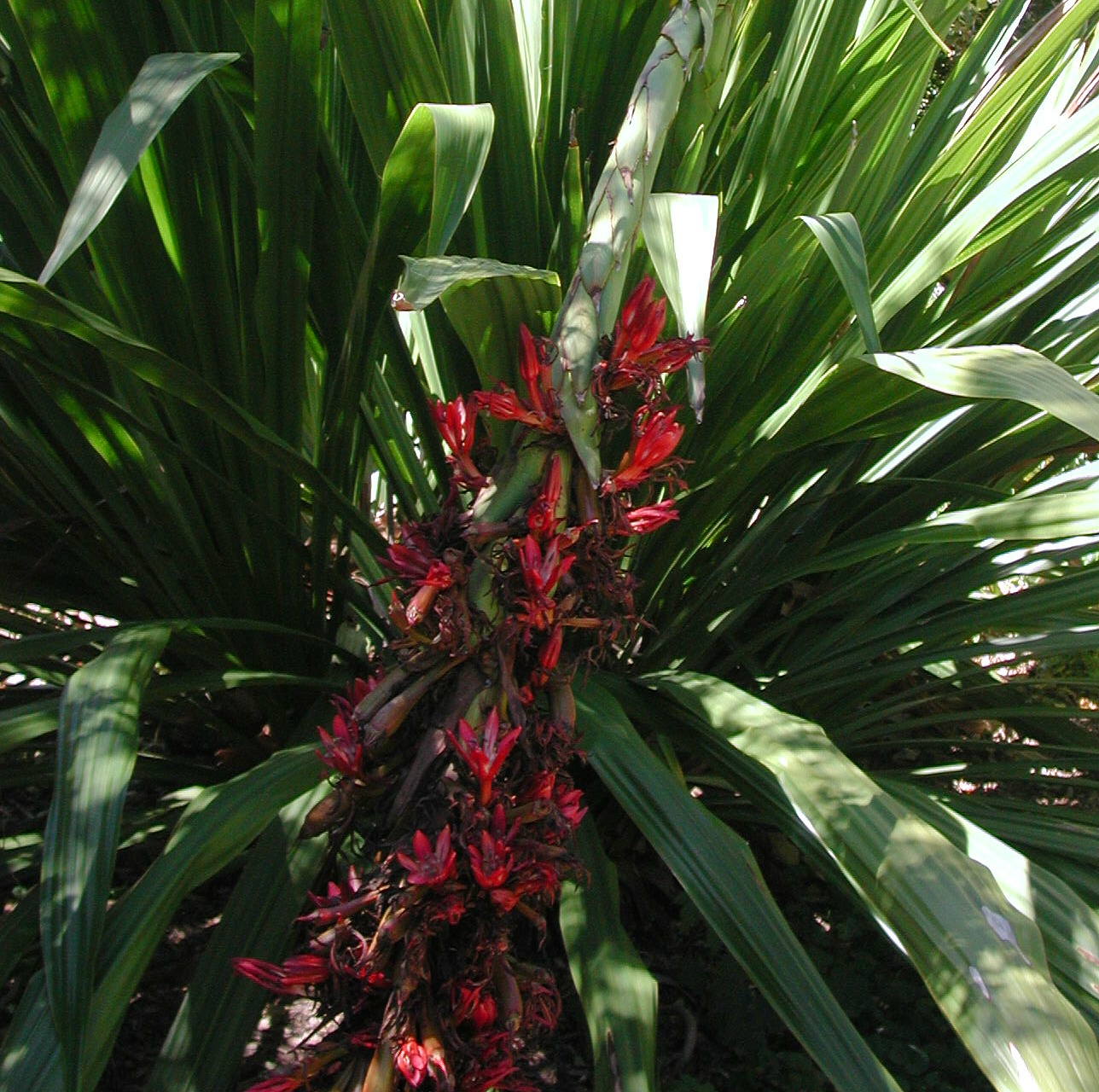 Doryanthus palmeri