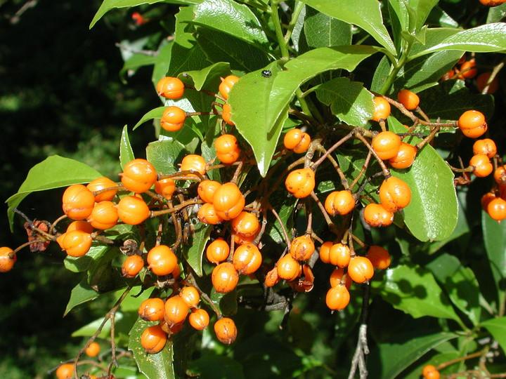 Pittosporum rhombifolium
