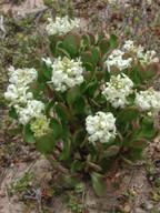Stackhousia spathulata