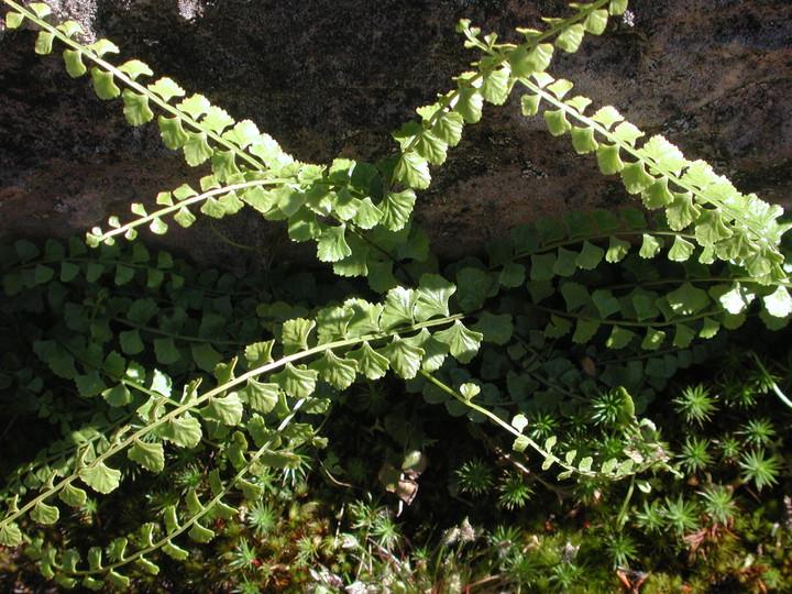 Lindsaea sp.