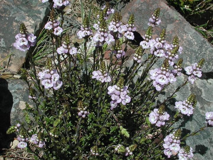 Euphrasia collina