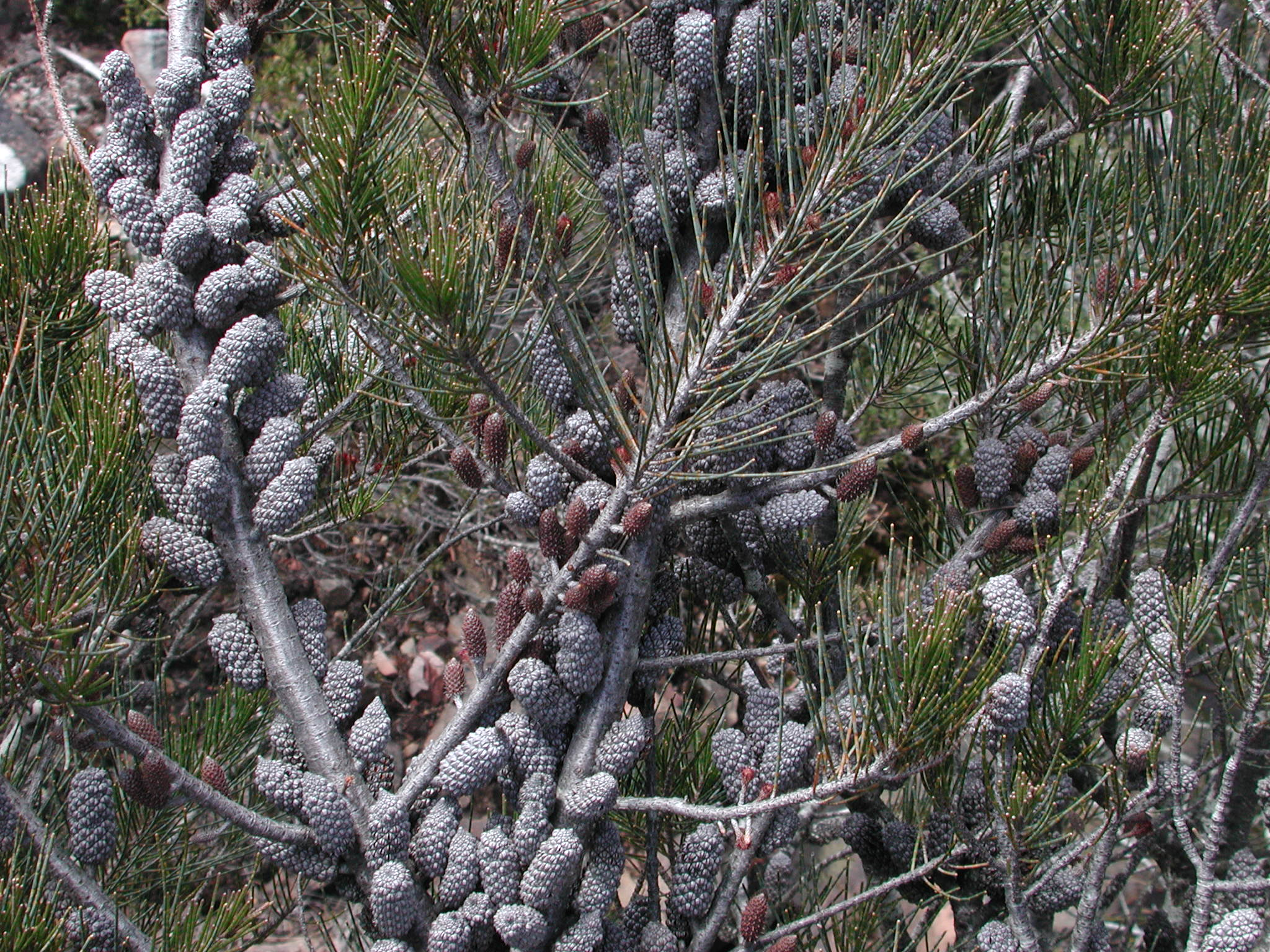 Allocasuarina sp.3
