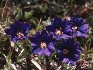 Gentiana pyrenaica