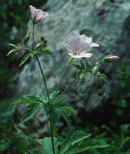 Geranium rivulare