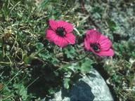 Geranium subcaulescens