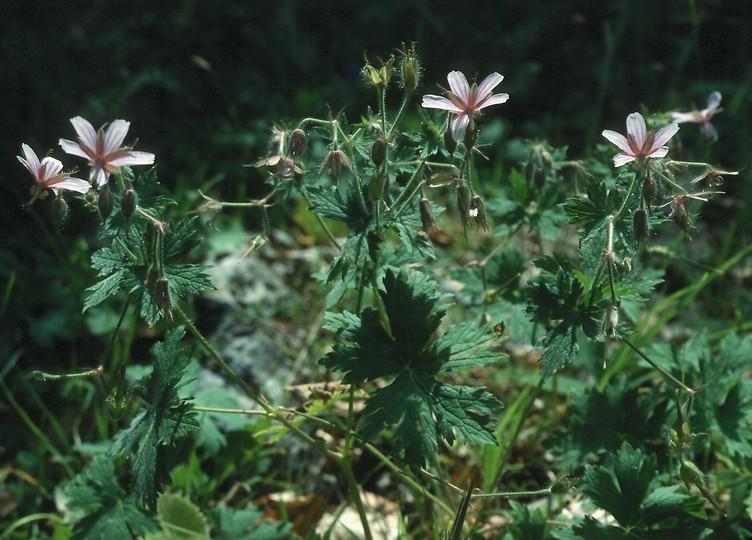 Geranium asphodeloides