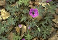Geranium sp.2