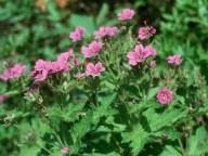Geranium sp. 1