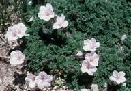 Geranium sibthorpianum