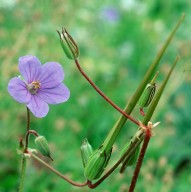 Erodium gruinum