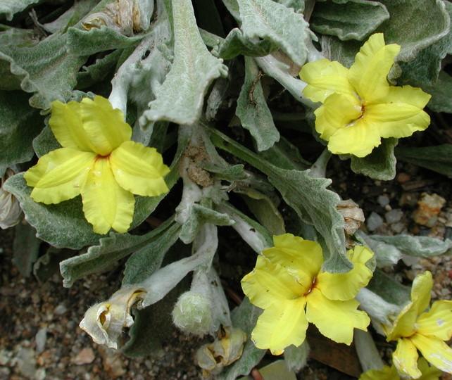 Goodenia affinis
