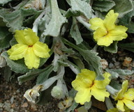 Goodenia affinis