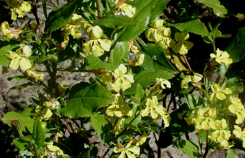 Goodenia ovata