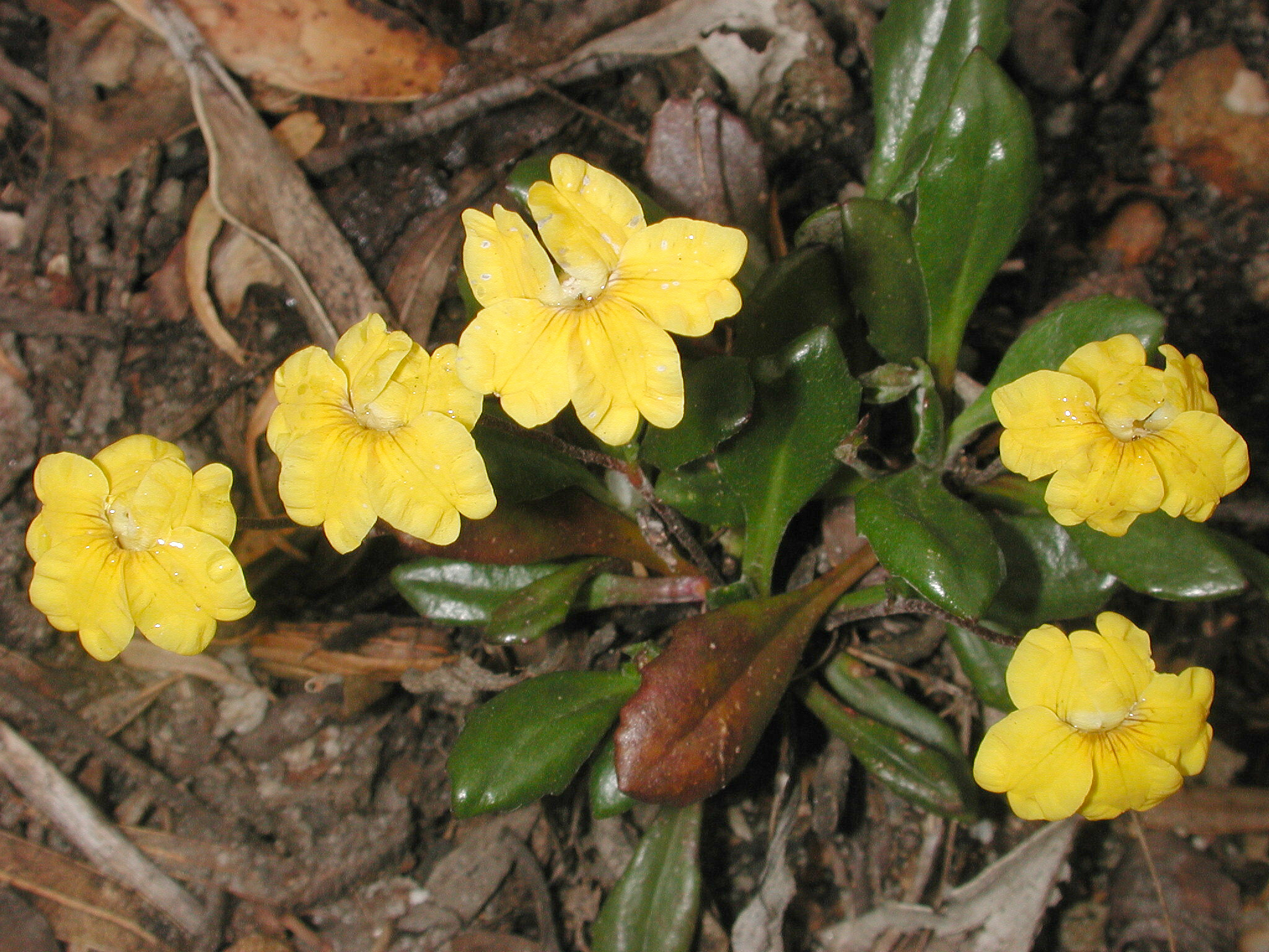 Goodenia blackiana