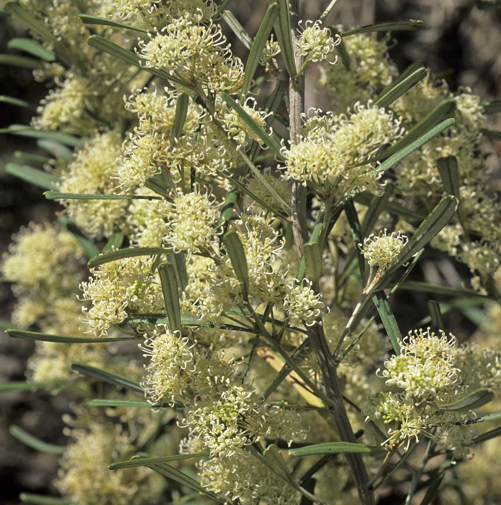 Grevillea argyrophylla