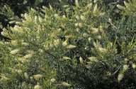 Grevillea trachytheca