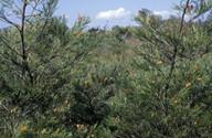 Grevillea tetragranulata