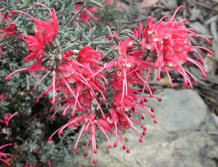 Grevillea lavandulacea