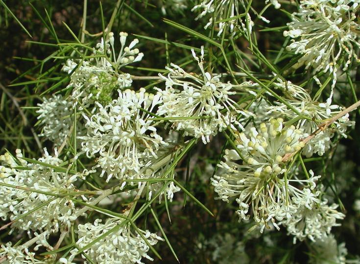 Grevillea anethifolia