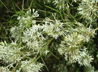 Grevillea anethifolia