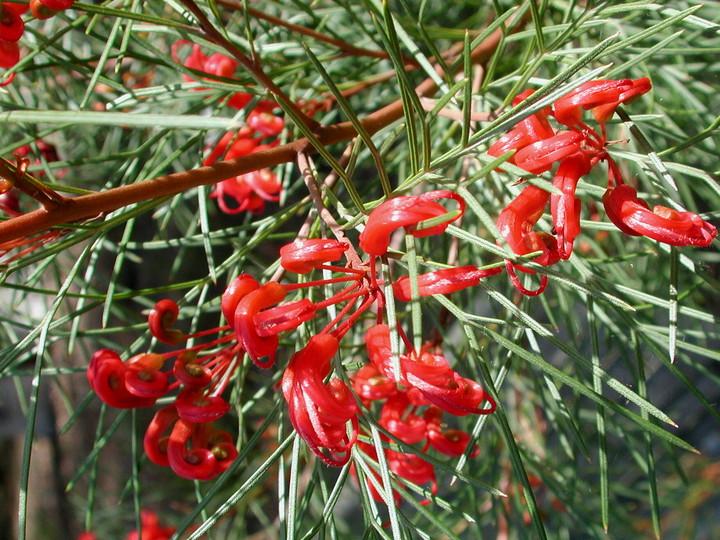 Grevillea nudiflora