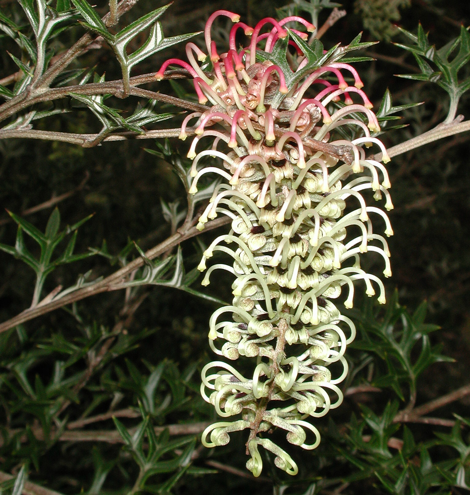 Grevillea willisii