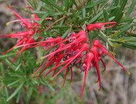 Grevillea brevicuspis