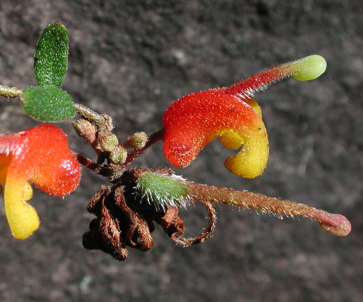 Grevillea alpina