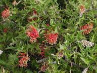 Grevillea aquifolium