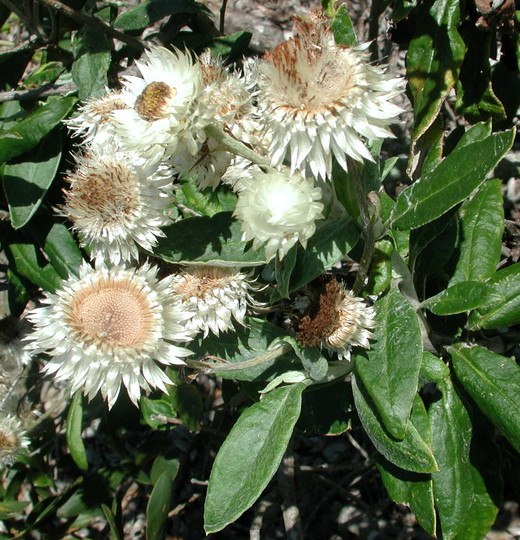 Helichrysum elatum