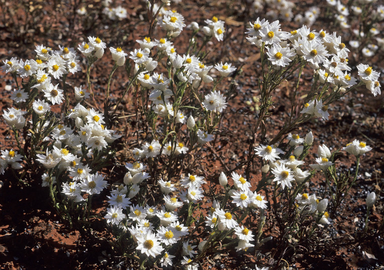 Helipterum floribundum