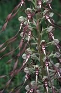 Himantoglossum hircinum ssp. hircinum