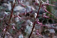 Himantoglossum hircinum ssp. calcaratum