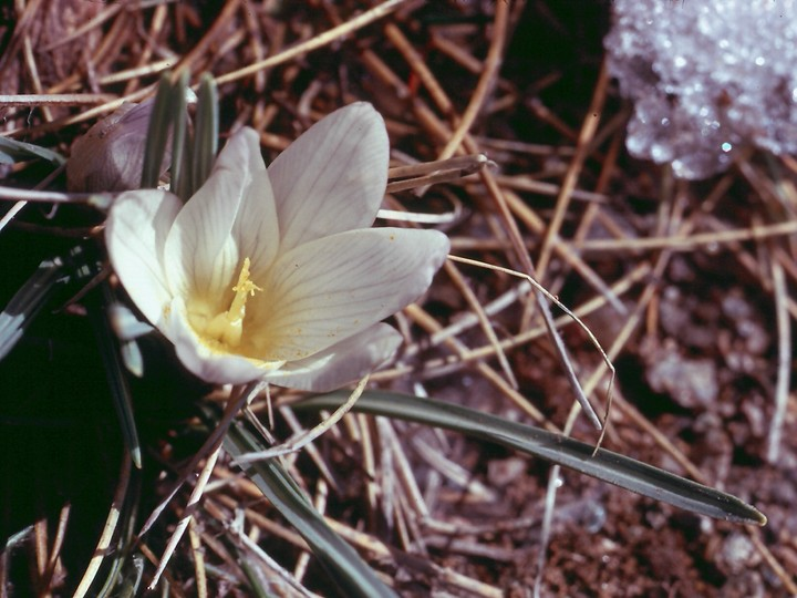 Crocus nevadensis
