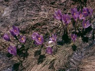 Crocus veluchensis