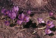 Crocus veluchensis