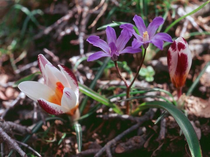 Crocus sieberi ssp. sieberi