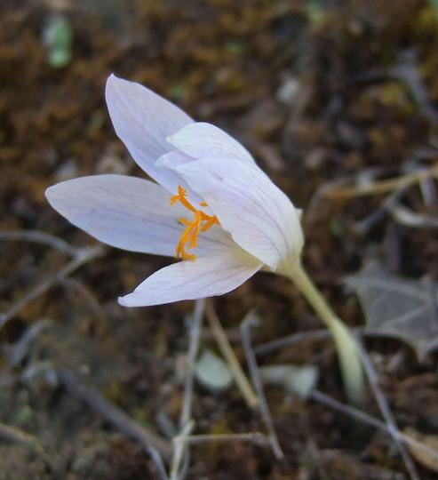 Colchium autumnalis