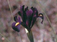 Iris filifolia