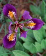 Iris unguicularis ssp. cretensis