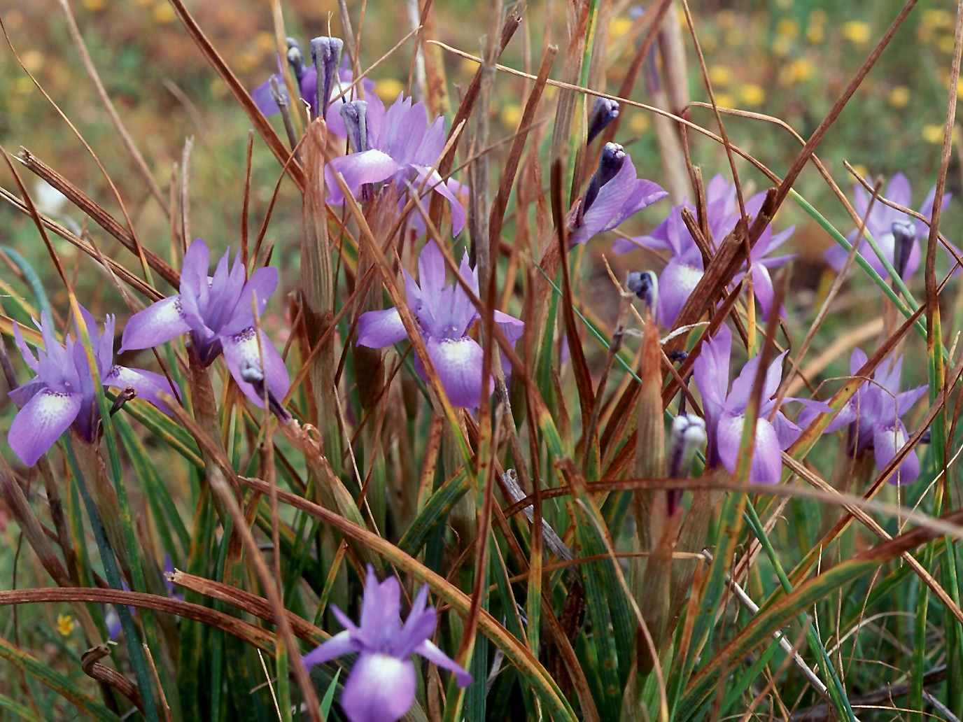 Gynandriris sisyrinchium