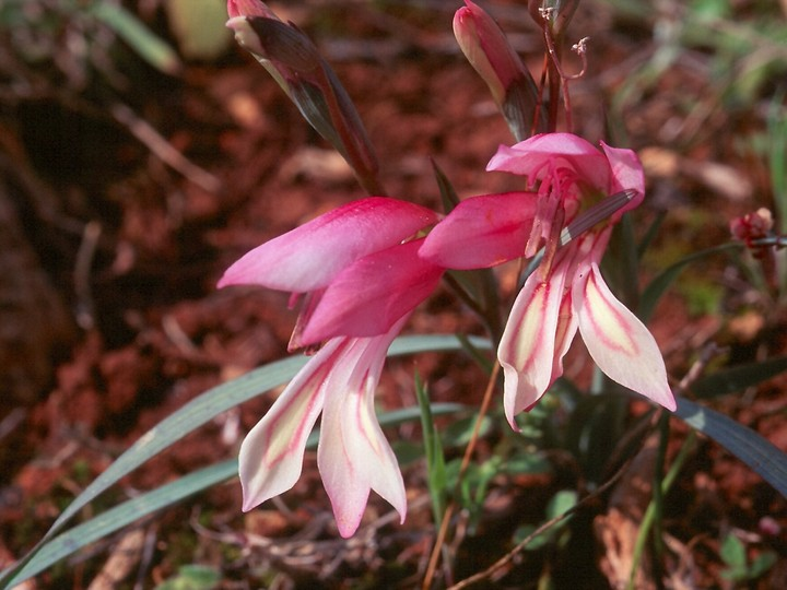 Gladiolus triphyllus