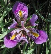 Iris unguicularis ssp. cretensis