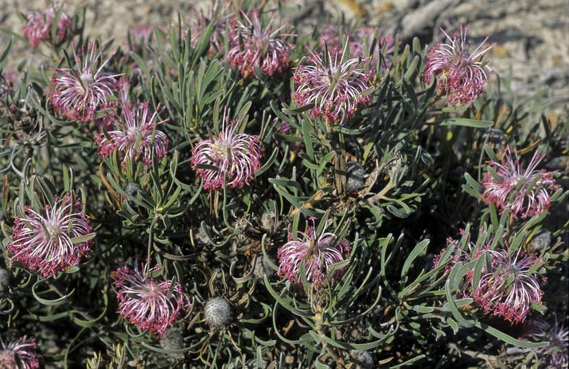Isopogon linearis