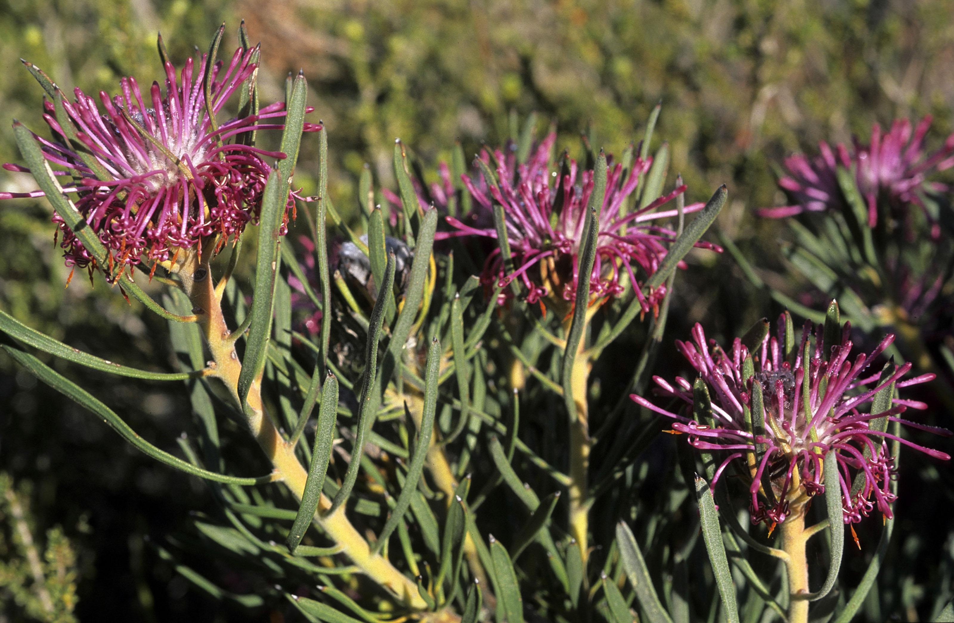 Isopogon sp.