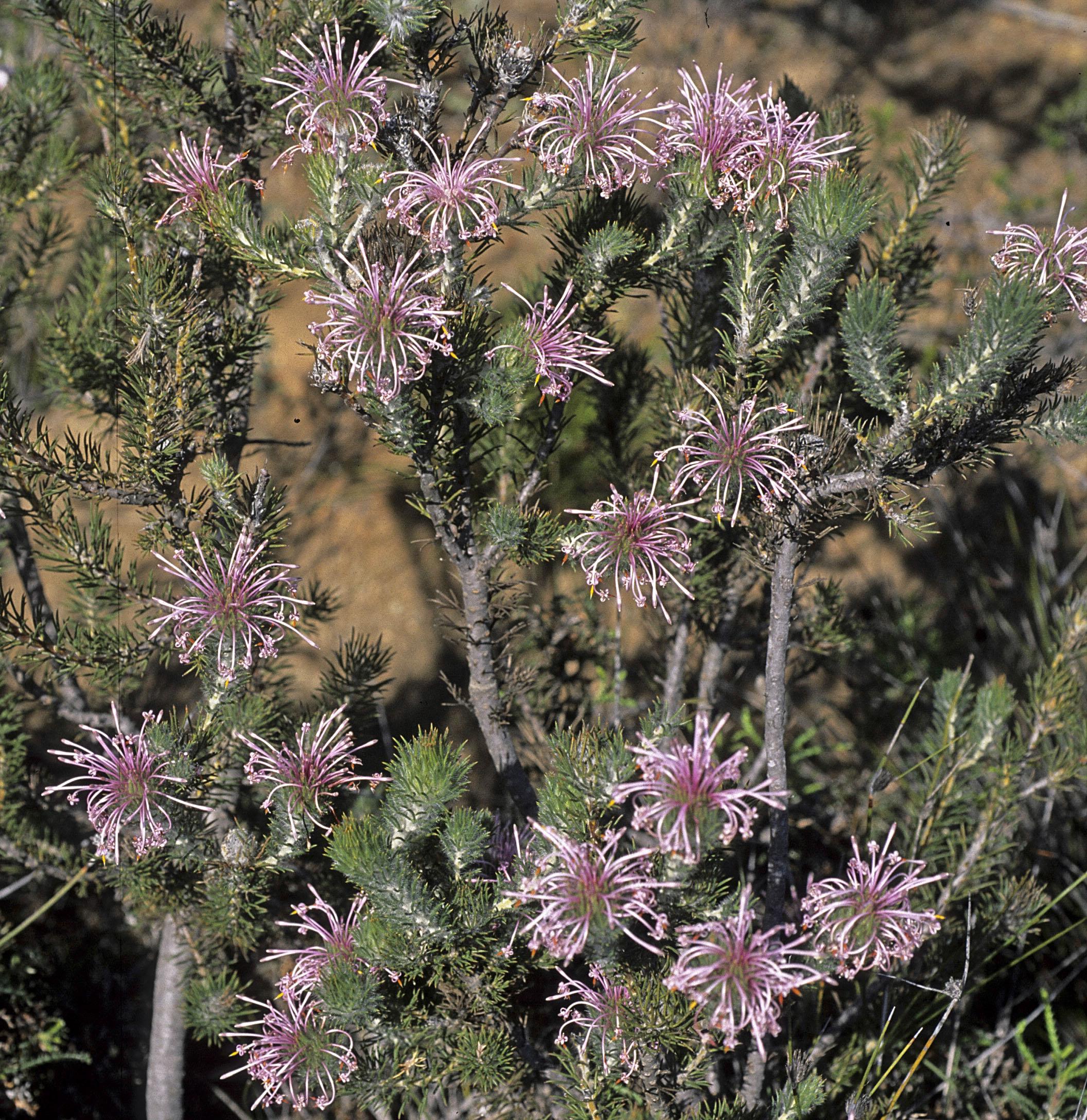 Isopogon adenanthoides