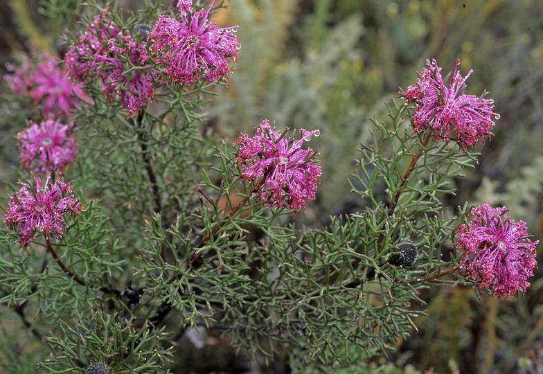 Isopogon sp.?formosus